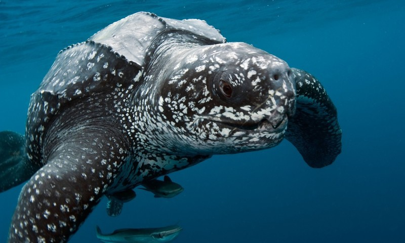 На 44 градусе северной широты поймали морскую черепаху. 13475.jpeg