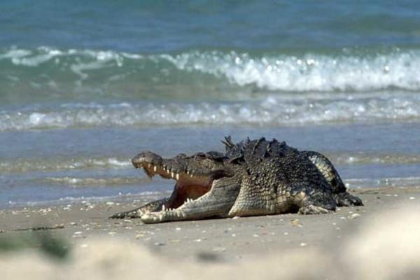 В Австралии стали применять дроны для слежения за крокодилами у пляжей. крокодилы, пляжи, дроны, Австралия