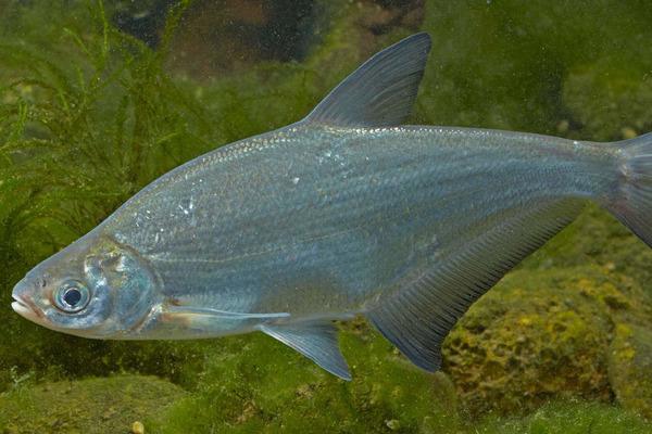 Все о рыбке подуст. 15501.jpeg