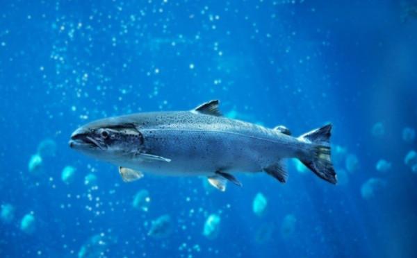 «Красная» путина показала новый рекорд. рыба, путина, Дальний Восток