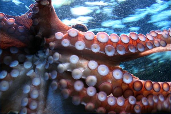 Биологи смогли заснять редкий вид кальмара с необычным хвостом. ученые, биологи, кальмары