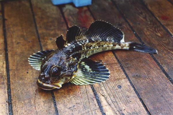 Интересная рыба - бычок. 13503.jpeg