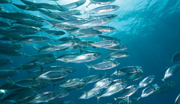 Производство аквакультуры за первое полугодие выросло на 70,6%. рыба, аквакультура, Минсельхоз