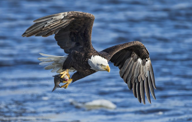 Орлан накормил птенца рыбой с рыболовными крючками. орлан