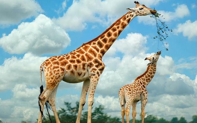 Никто пока не знает, зачем жирафу пятна. 13513.jpeg