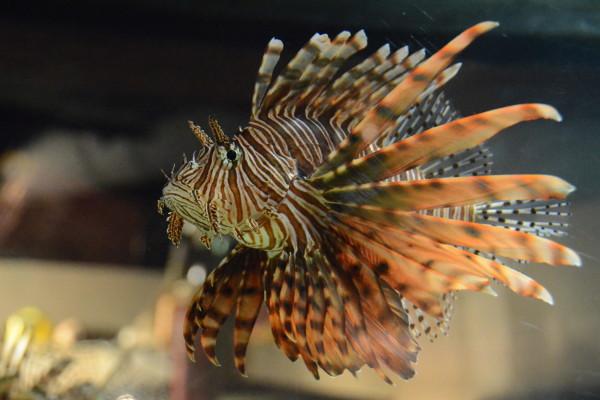 Самые ядовитые в мире рыбы. 14518.jpeg