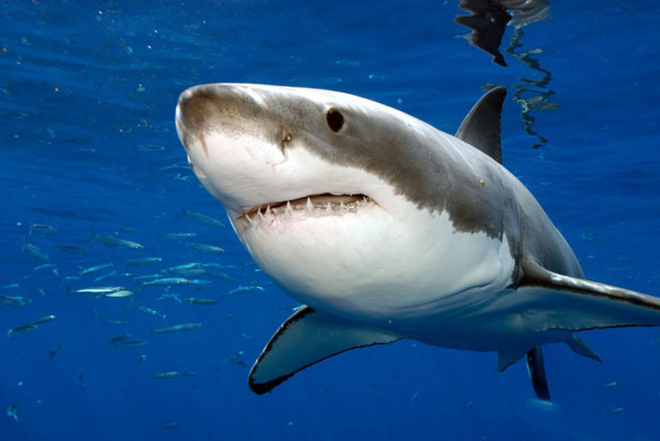 Блондинка сделала селфи с гигантской акулой и осталась жива - опасное видео. акула, дайверы, Гавайские острова