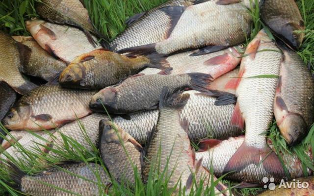 Вступили в силу новые нормы добычи рыбы. 13529.jpeg