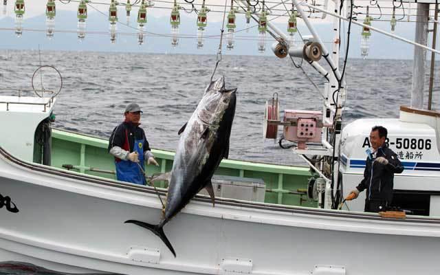 Большеглазый тунец может превратиться в ископаемый вид. 13532.jpeg
