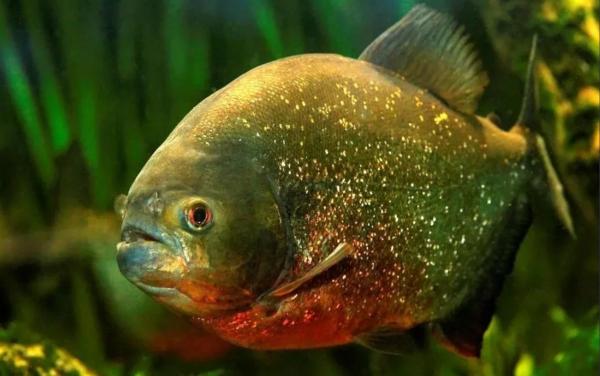 Псковский учёный объяснил, откуда взялись пираньи в реке Ловать. рыба, пиранья, река, Ловать, ученые