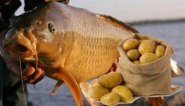 Картофель в качестве рыболовной насадки. 15551.jpeg