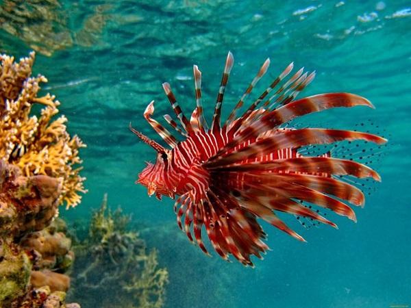 Рыба-лев: красота с порцией яда. 15554.jpeg