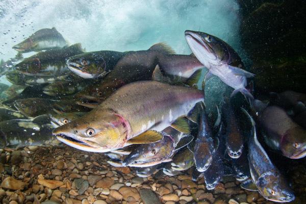 Генетики выяснили, как повысить уловы горбуши. рыба, горбуша, улов, ученые, Белое море