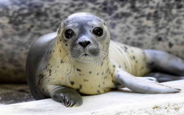 Зоологи насчитали 138 детенышей тюленей, родившихся в Темзе. экология, река, Темза, тюлени, Лондон