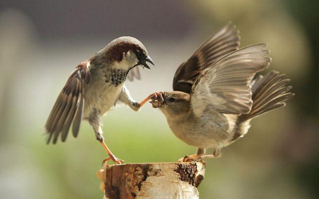 В штате Миннесота птицы выпили лишнего. 13561.jpeg