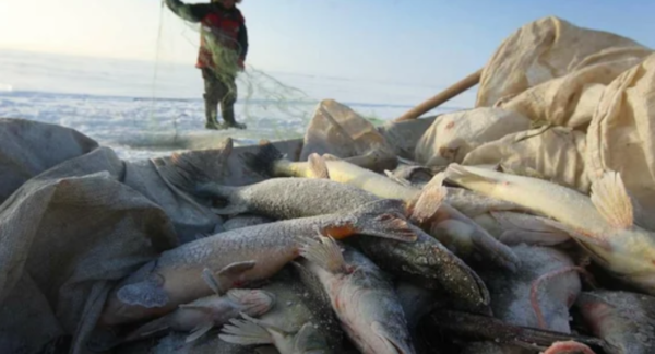 38 кг рыбы изъяли у псковских браконьеров за прошедшую неделю. рыба, браконьеры, биоресурсы