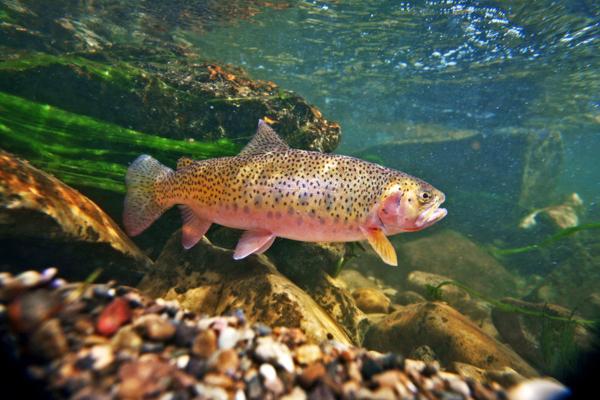 Северная Осетия увеличила объемы выращенной форели. рыба, форель, Северная Осетия