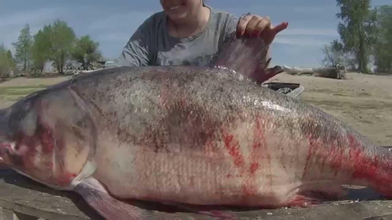 В Узбекистане поймали пестрика на 35 килограммов. рыба