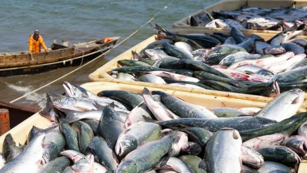 В Калужской области рассматривается возможность переработки рыбы из Приморья. рыба, переработка, Калужская область, Приморье