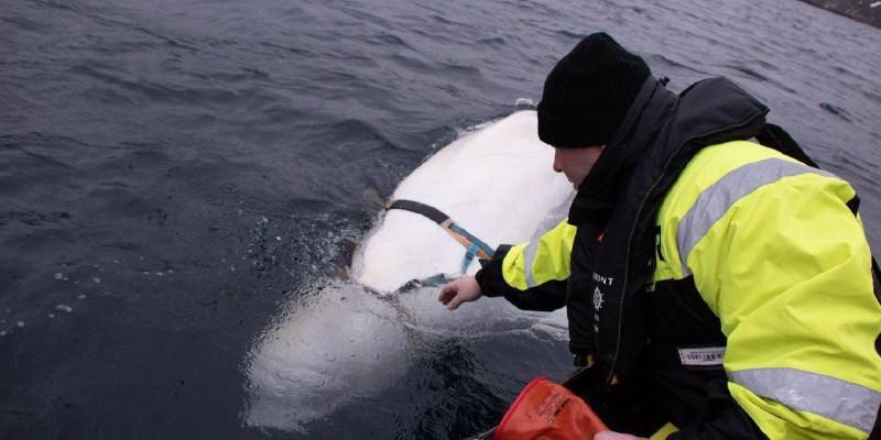 Норвежские рыбаки поймали кита-военнослужащего ВС РФ. кит