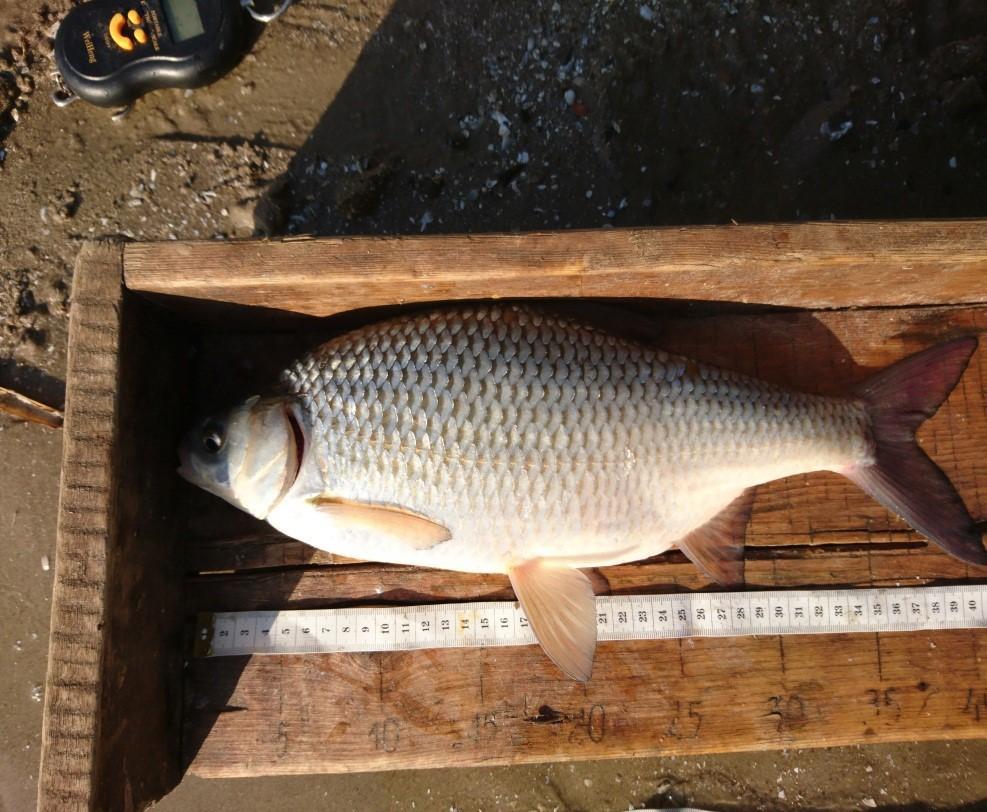 Рыбаки поймали гигантскую воблу, поцеловали и отпустили. вобла