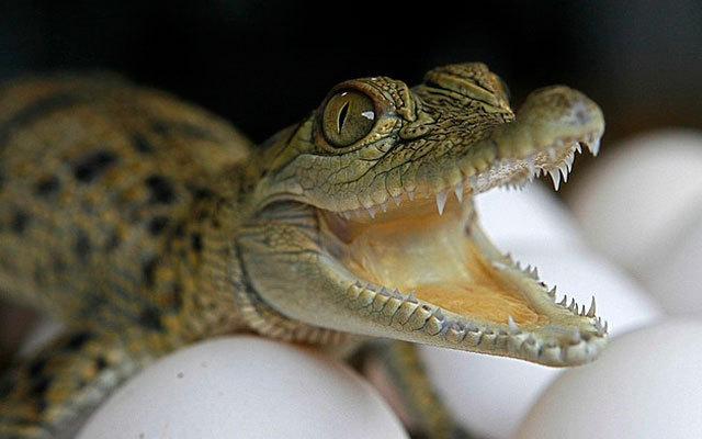 В море возле Анапы выловили крокодила. 13585.jpeg