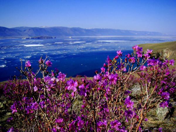 Ученые на Байкале нашли редкое растение. экология, растения, озеро Байкал