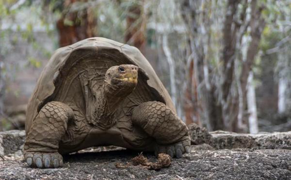 На Галапагосских островах похитили более 120 гигантских черепах. животные, экзотические животные, рептилии, черепахи, Галапагосские острова