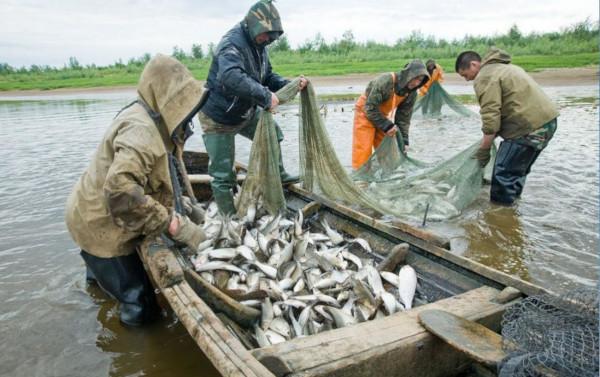 В притоках Амура расписали добычу кеты для КМНС. рыба, рыбалка, кета