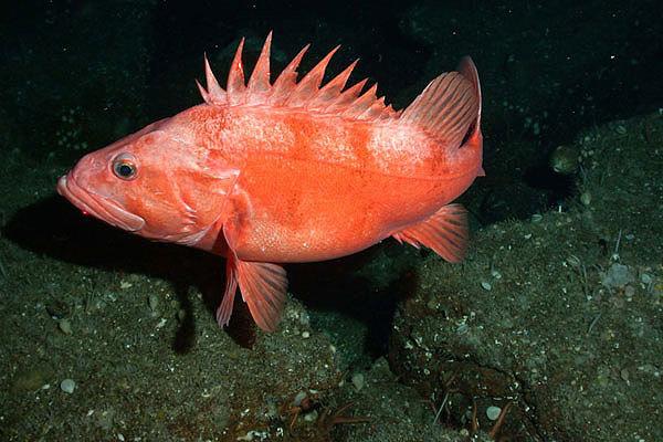 Не стоит есть эту рыбу. 14604.jpeg