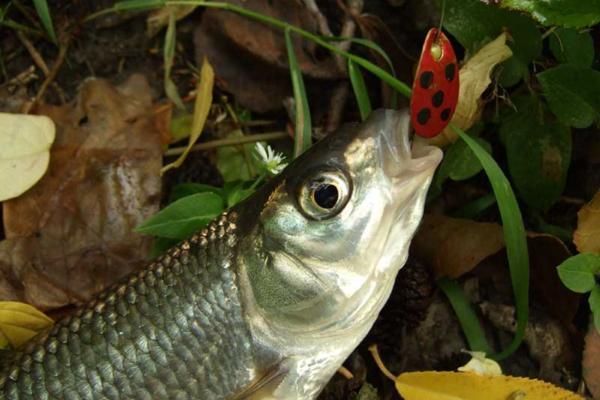 Елец-молодец: рыбалка с азартом. 15604.jpeg