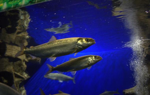 В Бурятии Росгвардейцы изъяли 165 особей омуля у браконьеров. рыба, омуль, браконьеры, Бурятия