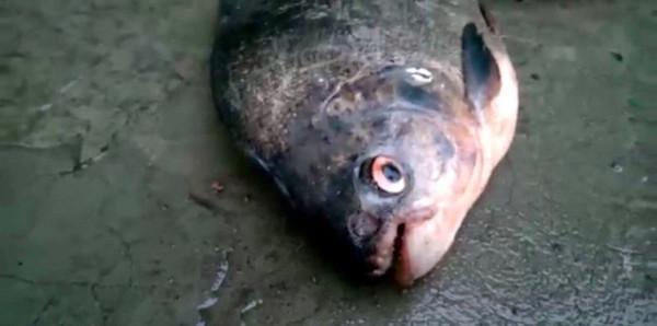 Зубастую рыбу поймали в Ростовской области. рыба, зуба, Ростовская область