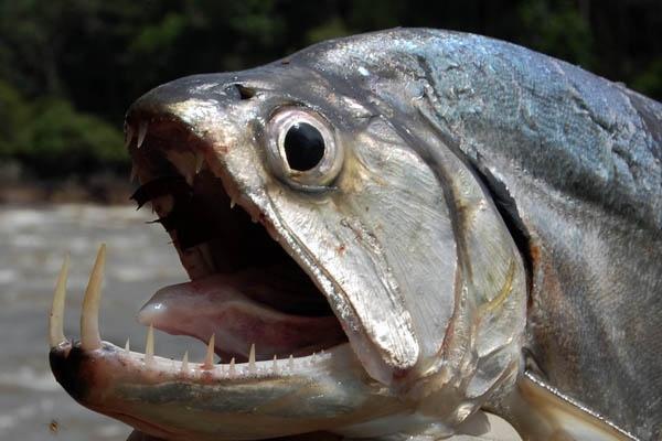 Рыбы со странными и пугающими зубами. 14607.jpeg