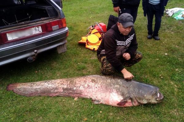 Рязанский рыбак поймал сома весом 71 килограмм. рыба, сом, Рязань