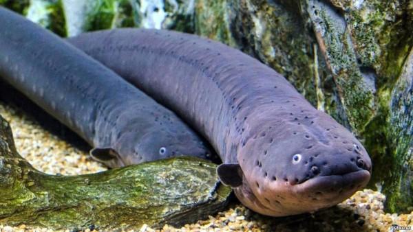 Электрические угри нового вида могут вырабатывать напряжение до 860 вольт. рыба, угорь, ученые, исследование, США