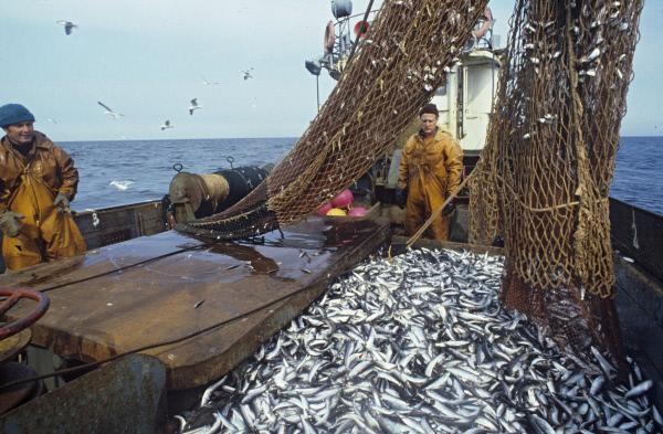 Рекордные уловы рыбы отправляются на экспорт, а россиянам достаются хвосты и головы. рыба, промысел, продажа, Росстат