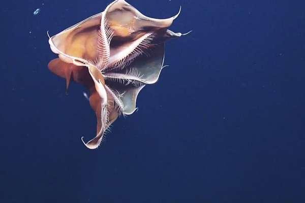 Фиолетовый тремоктопус - осьминог-одеяло. 15623.jpeg
