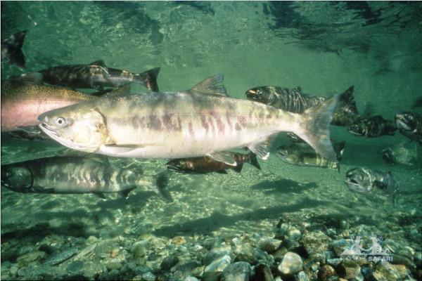 КетАмарафон «Красной рыбе - зеленый свет» стартовал на реке Амур. рыба, красная рыба, кета, марафон, река, Амур