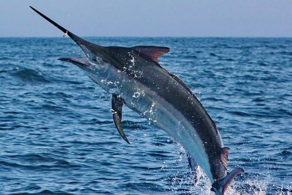 Самые быстрые рыбы в мире. 14636.jpeg