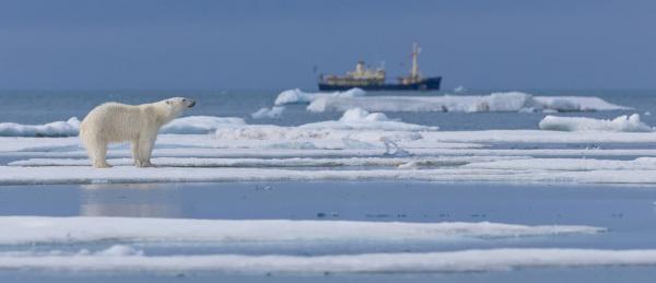 В Карском море белый медведь подошел к стоящему ледоколу. медведь, Карское море, ледокол