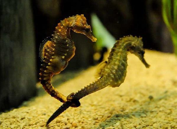 Удивительный морской конек. 15650.jpeg