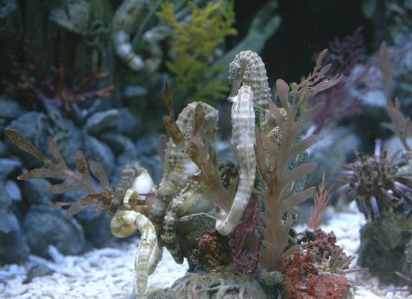 Удивительный морской конек. 15651.jpeg