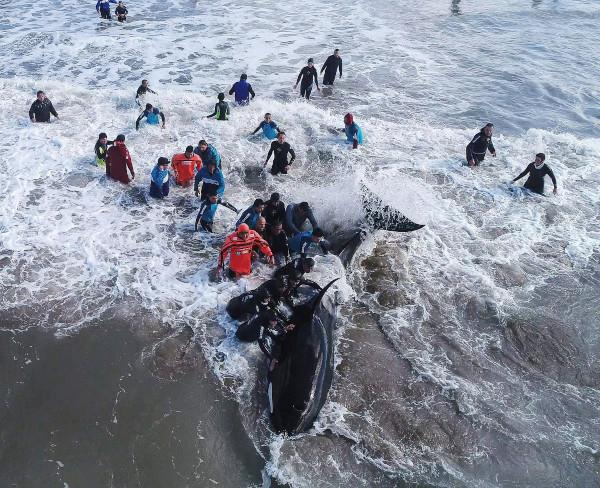 Добровольцы спасли косаток в Аргентине — видео. косатки, море, Аргентина