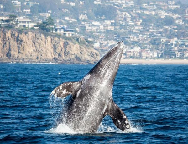 На Чукотке выявлен факт незаконной добычи занесенных в Красную книгу серых китов. океан, кит, серый кит, Чукотка