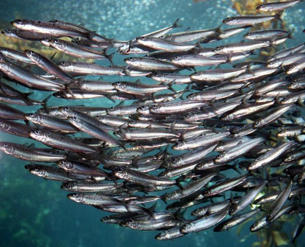Возле Южных Курил расплодилась иваси. рыба, иваси, Южные Курилы