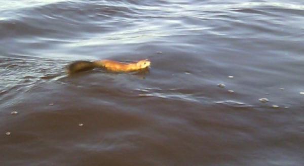 В Коми белка-пловчиха переплыла реку за несколько минут. животные, дикие животные, белка, река, Печора, Коми