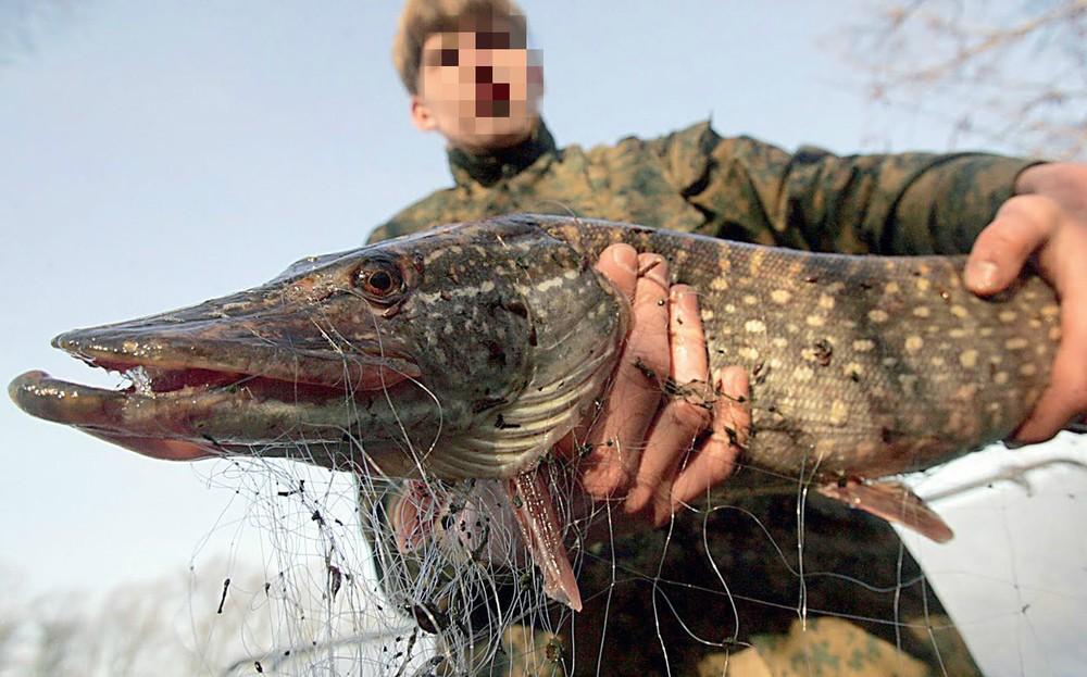 Под Ярославлем возрос штраф за ловлю щук. 15664.jpeg