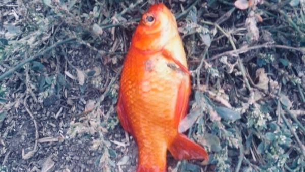 Мурманчане выловили из озера золотую рыбку. рыба, рыбалка, золотая рыбка, озеро, серебрянка, Мурманск