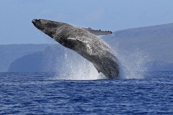 НОРВЕГИЯ ЗАВЕРШЕТ ИССЛЕДОВАНИЯ ПО ВЛИЯНИЮ СИГНАЛОВ АКТИВНЫХ ГИДРОЛОКАТОРОВ НА МОРСКИХ МЛЕКОПИТАЮЩИХ. животные, морские млекопитающие, киты, ученые, исследование, Норвегия